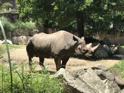 天王寺動物園のサイ